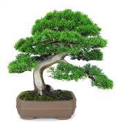 juniperus moyogi shohin