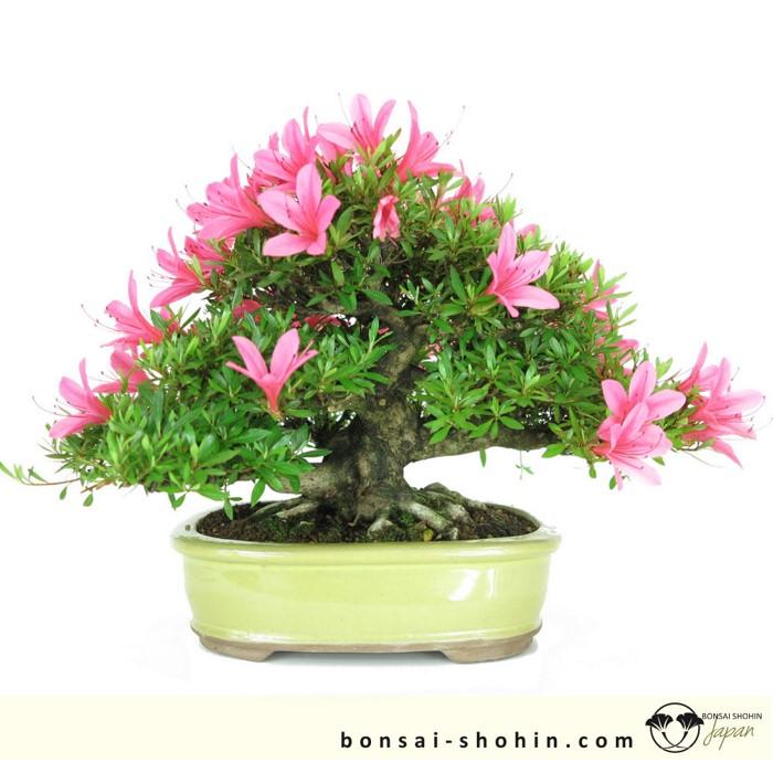 Bonsai Shohin Bonsai-shohin-01