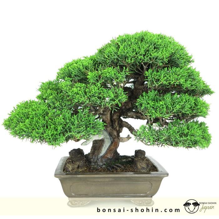 Bonsai Shohin Bonsai-shohin-02