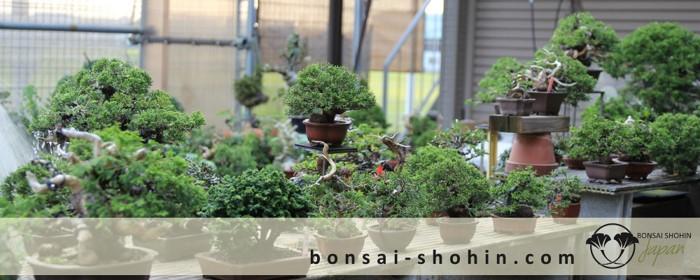 Bonsai Shohin Bonsai-shohin-04