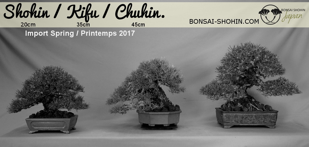 import shohin kifu chuhin par bonsai shohin japan au printemps 2017
