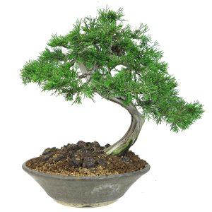 juniperus sabina yamadori