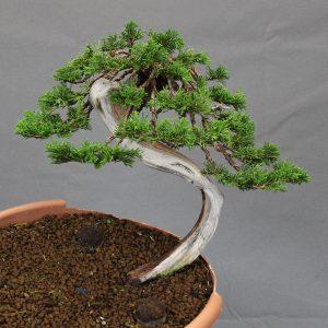 juniperus sabina yamadori bunjin