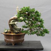 juniperus sabina yamadori semi cascade