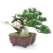 juniperus itoigawa semi-cascade
