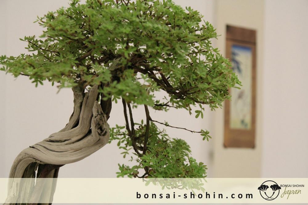 Bonsai Shohin Maulevrier-2016-shohin-fb-06