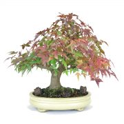 acer palmatum yamamomij