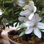 azalee-satsuki-shohin-fleur-01