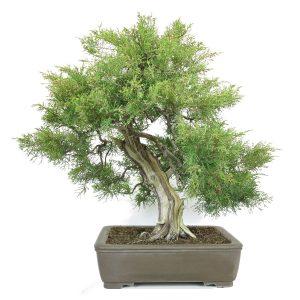 juniperus pfitzeriana bonsai