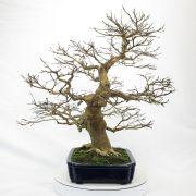 lagerstroemia-bonsai-01