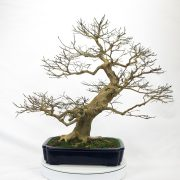 lagerstroemia-bonsai-02