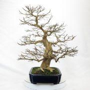 lagerstroemia-bonsai-03