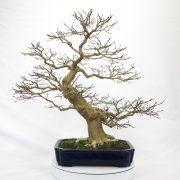 lagerstroemia-bonsai-04