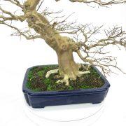 lagerstroemia-bonsai-05
