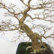 lagerstroemia-bonsai-06