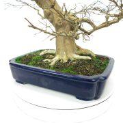 lagerstroemia-bonsai-07