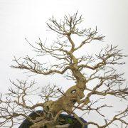 lagerstroemia-bonsai-08