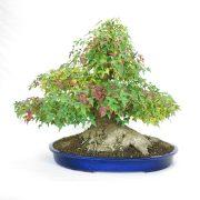 erable-buerger-bonsai-01