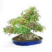 erable-buerger-bonsai-02