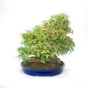 erable-buerger-bonsai-03
