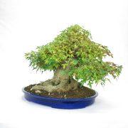 erable-buerger-bonsai-04