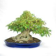 erable-buerger-bonsai-05