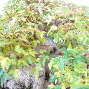erable-buerger-bonsai-06