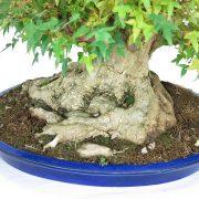 erable-buerger-bonsai-07