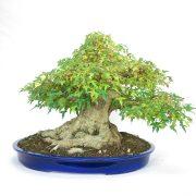 erable-buerger-bonsai-08