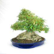 erable-buerger-bonsai-09