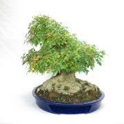 erable-buerger-bonsai-10