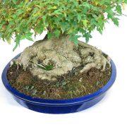 erable-buerger-bonsai-11