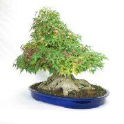 erable-buerger-bonsai-12