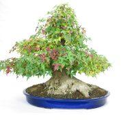 erable-buerger-bonsai-13
