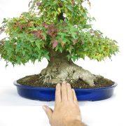 erable-buerger-bonsai-14