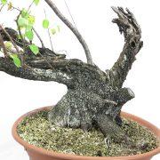 prunus-mahaleb-yamadori-02