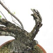 prunus-mahaleb-yamadori-03