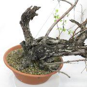 prunus-mahaleb-yamadori-06