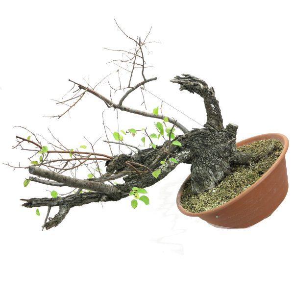 prunus mahaleb yamadori
