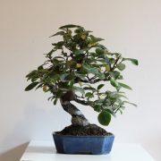 pseudocydonia-sinensis-01