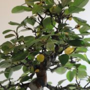 pseudocydonia-sinensis-04
