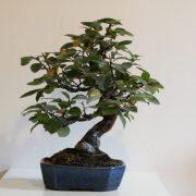 pseudocydonia-sinensis-06