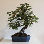 pseudocydonia-sinensis-07