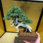 Travaux du moment sur un juniperus rigida «Tosho»