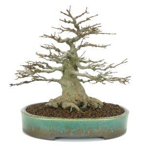 http://bonsai-shohin.com/wp-content/uploads/2017/01/acer-buergeranium-kifu-300x300.jpg
