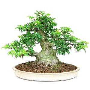 acer palmatum shihshigashira