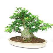 achat vente bonsai shohin - 002