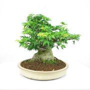 achat vente bonsai shohin - 003
