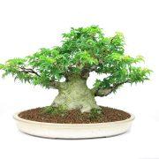 achat vente bonsai shohin - 005