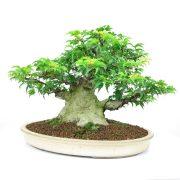 achat vente bonsai shohin - 006